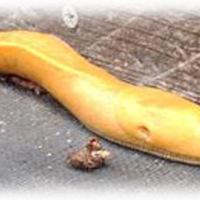 bananaslug.jpg