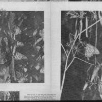 CF-20180722-(Burrterflies)...along the monarch tra0001.PDF